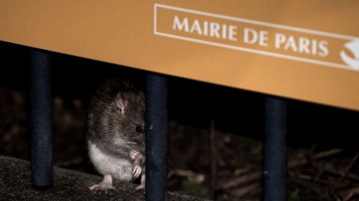 Rats - Paris